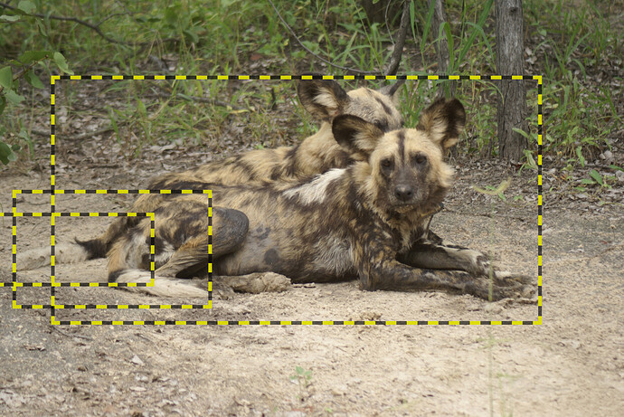 Two wild dogs, one behind the other. Two tails are visible but it's unclear whose tail is whose.