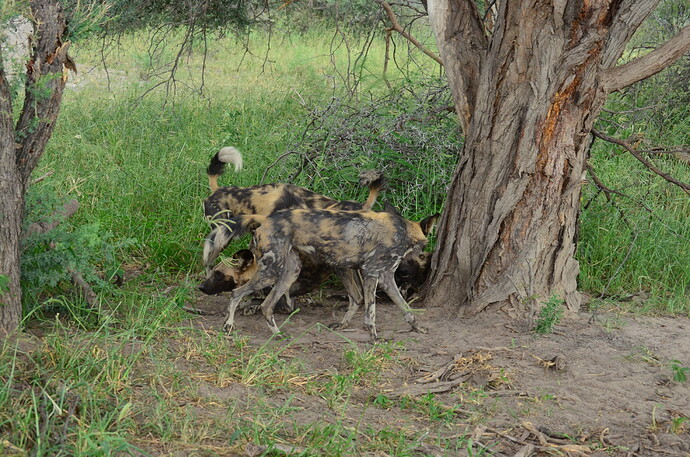 An indeterminate number of wild dogs in a confusing pose